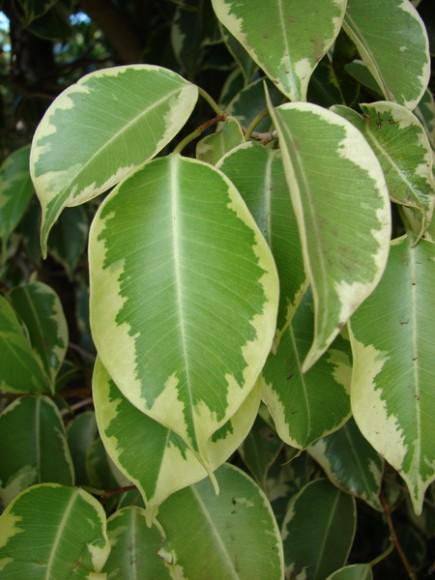 3_Ficus-benjamina