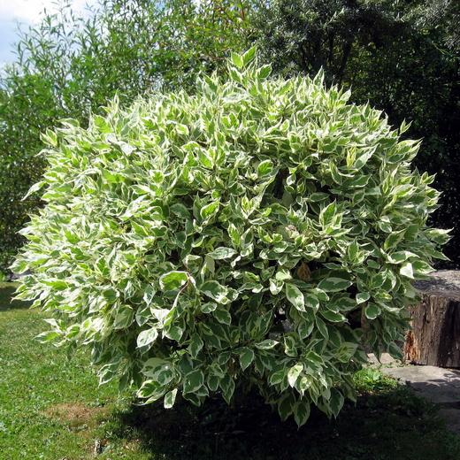 Ficus-benjamina01