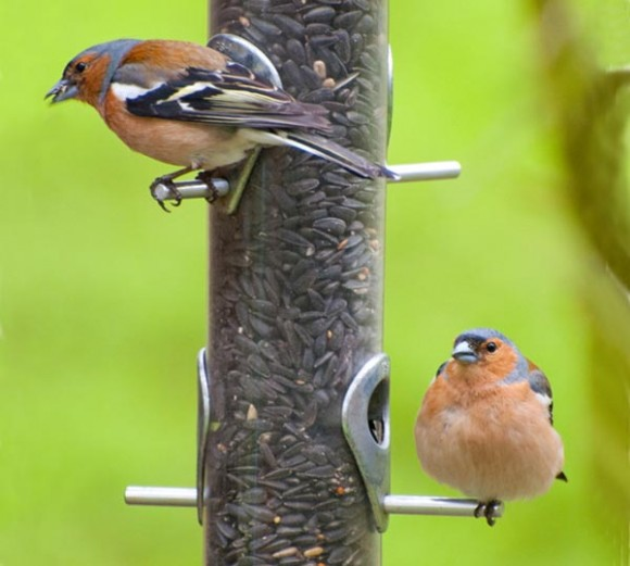 two male chiffinch on feeder with green background